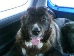 Happy Kodiak in the car