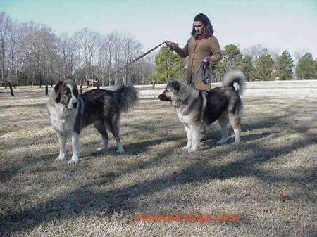 Nicol, Caesar and Shagi in VA