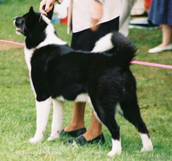 Karelian Bear dog