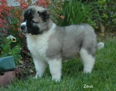 Pup Zeus