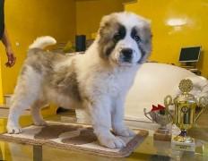 Pandora in Serbia 6 weeks old