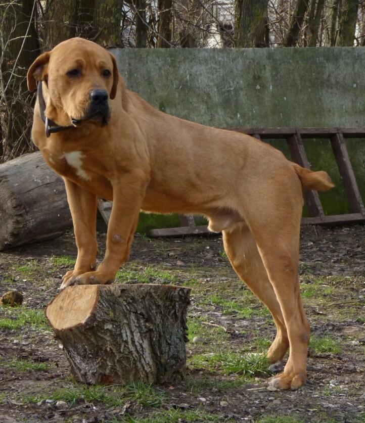 Serbian Defense Dog