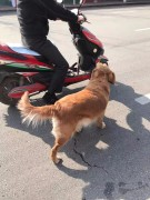 This man go everywhere with his dog - Golden Retriever