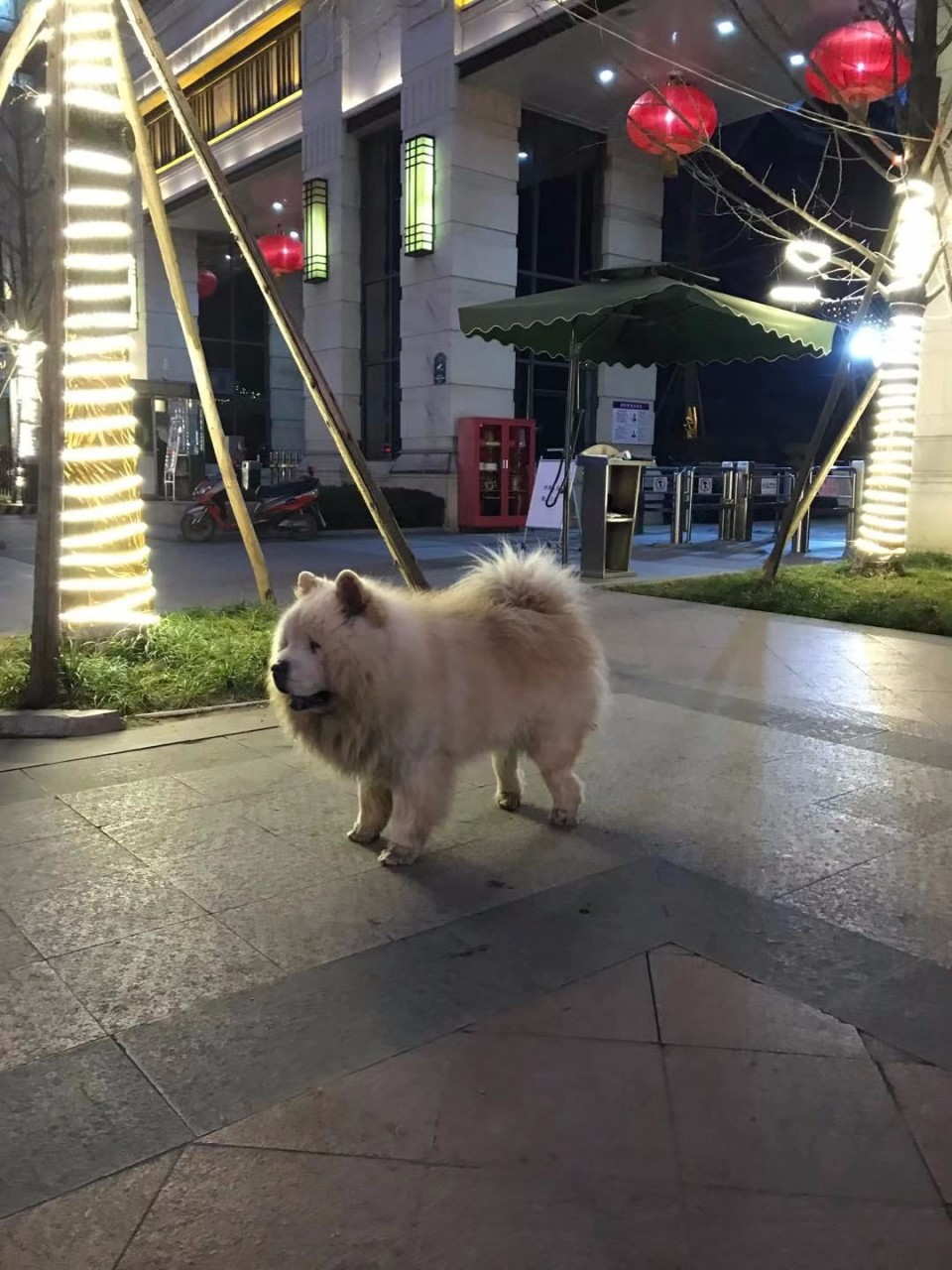 Chow Chow from my city in China