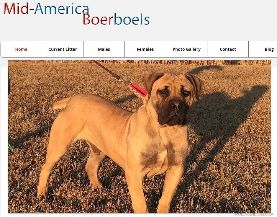 South African Boerboel Puppies for Sale from Mid-America Boerboels