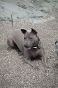 Zin female Thai Ridgeback