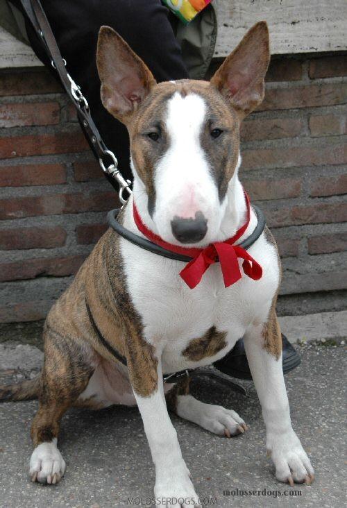 Bull Terrier in Italy 2005