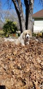 pandora in a pile of leaves
