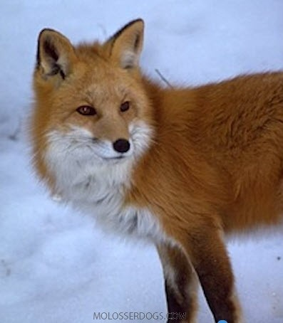 Red Fox Sighted in Yosemite