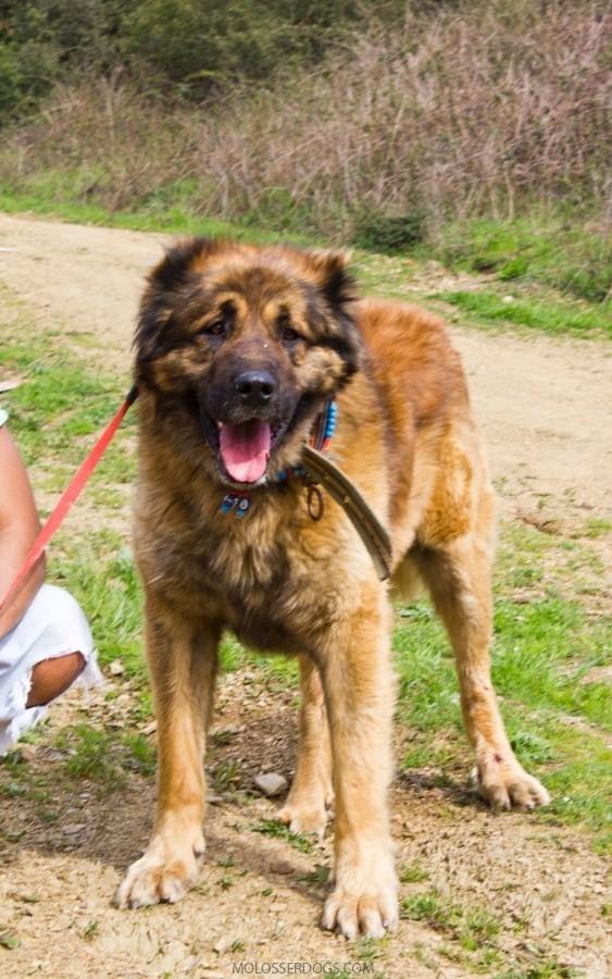Karst Shepherd Dog
