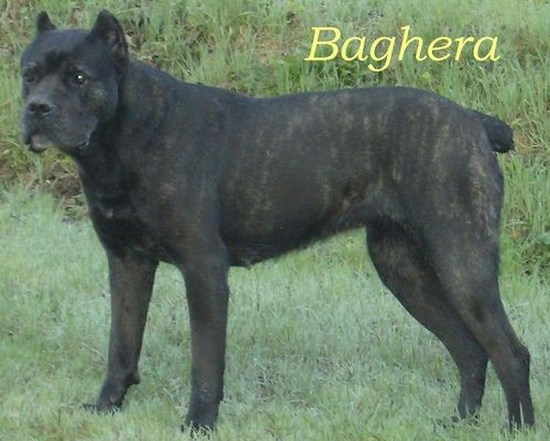 Baghera from Eurasia kennel
