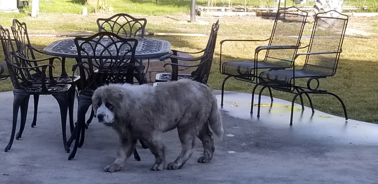 Pandora Ruski Izvor at 16 weeks - Dirty dog