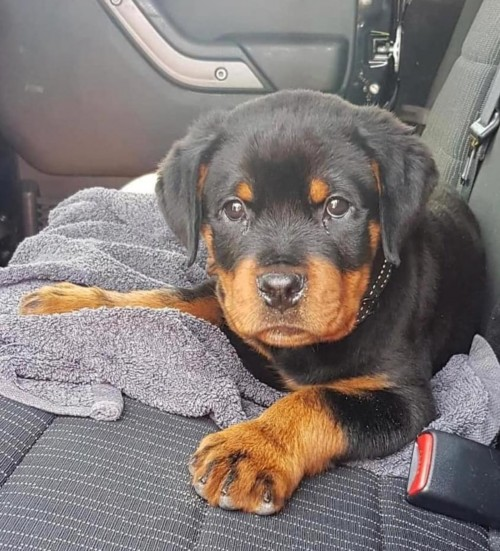 Rottweiler Puppy For Sale.